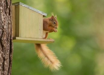 Red squirrel (c) Raymond Leinster