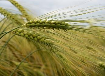 Barley (c) James Hutton Institute