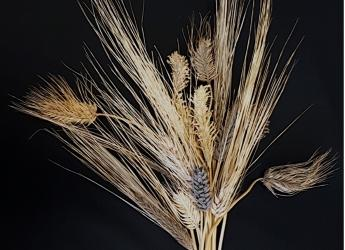 The barley pan-genome will benefit scientists and breeders