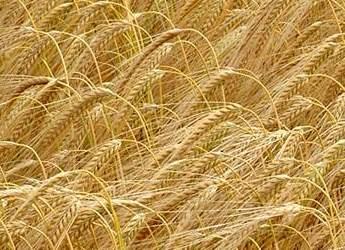Barley crop (c) James Hutton Institute