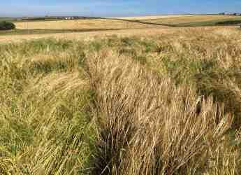 Bere barley plots (c) James Hutton Institute