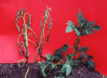 Blackleg-affected potato plants (c) James Hutton Institute
