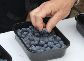 Blueberries (c) James Hutton Institute