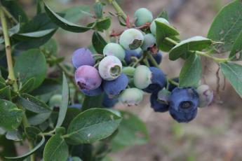 Blueberries (c) James Hutton Institute