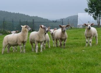 Sheep at Glensaugh farm (c) James Hutton Institute