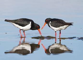 Wading birds (Haematopus_longirostris_-_Austins_Ferry)