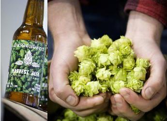 Harvest Beer features Hutton hops (courtesy St Andrews Brewery)
