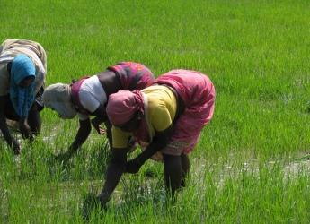 Image by McKay Savage, London, UK (India, Sights & Culture, Planting Rice Paddy)