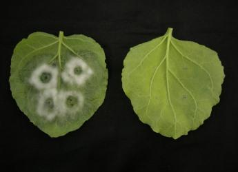 Phytophthora infestans in potato leaves (c) James Hutton Institute