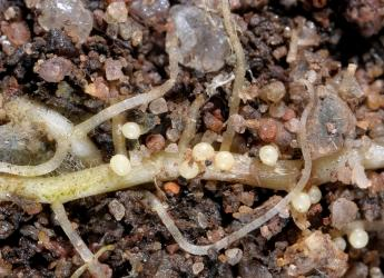Nematodes on a plant root (c) James Hutton Institute