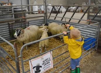 Meet the Sheep at Open Farm Sunday, Glensaugh (c) James Hutton Institute