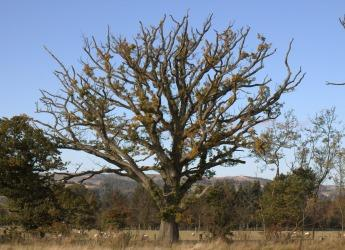 Oak tree (c) James Hutton Institute