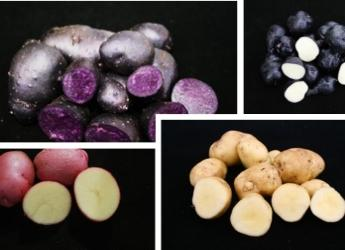 Potato varieties showing diverse anthocyanin levels (c) James Hutton Institute