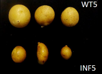 Comparison of potato tubers (c) James Hutton Institute