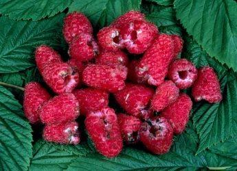Raspberries damaged by raspberry beetles (c) James Hutton Institute