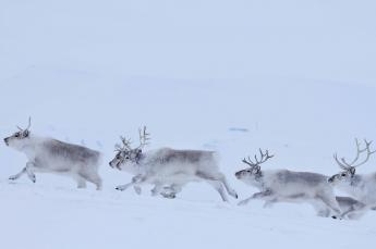 Reindeer in Svalbard (c) James Hutton Institute