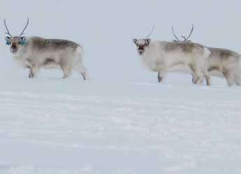 Reindeer in the snow © James Hutton Institute