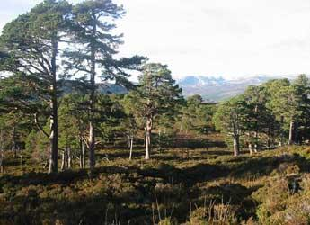 Photograph of Scots pine trees
