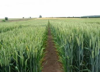 Wheat field at Gourdie (c) James Hutton Institute