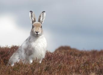 Winter mountain hare sitting (c) James Hutton Institute