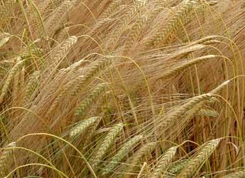 Photograph of barley growing in a field