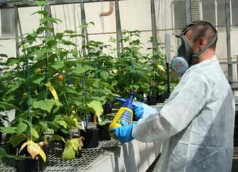Photograph of scientist spraying during biopesticide trial on raspberry aphids