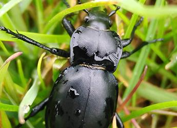 ground beetle Carabus glabratus