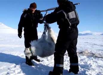 Steve Albon and a colleague weighing a reindeer