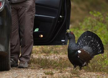 Image of Capercaillie beside car