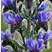 Photograph of viper's bugloss in the Living Field garden