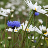 Photograph of ox-eye daisy and cornflower (Living Field collection)