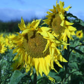 Photograph of sunflowers on the Mylnefield farm