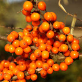 Photograph of sea buckthorn berries