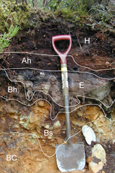 Image showing a soil profile pit. Annotations show the soil horizons, a spade is provided to show scale.
