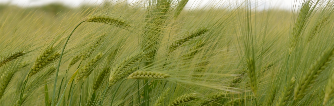 Barley scientists have identified a gene that influences sodium content