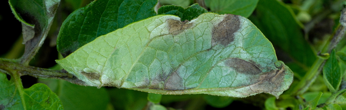 Plant leaves showing blight infection