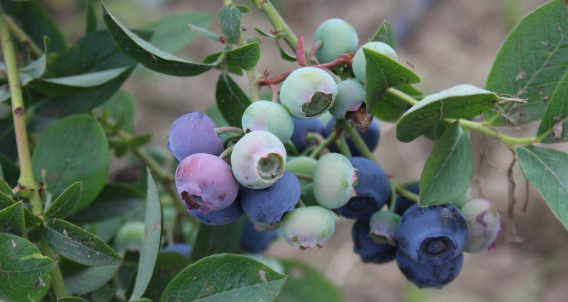 Blueberries are rich in polyphenols (c) James Hutton Institute