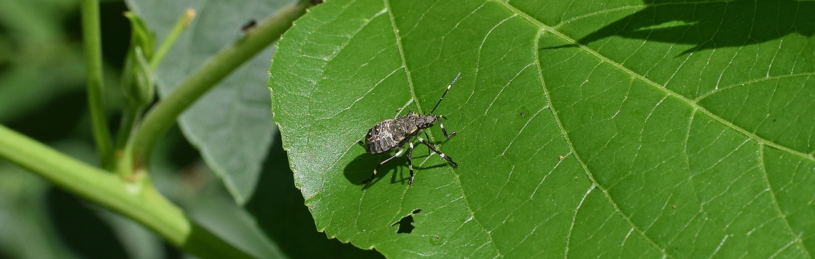 Image of the brown marmorated stink bug on a leaf (credit: SRUC)