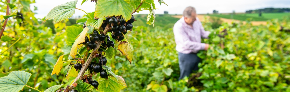 The research seeks to develop climate-resilient blackcurrant varieties (c) LRS