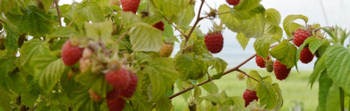 Image of raspberry bushes