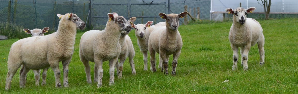 Sheep at Glensaugh farm (c) James Hutton Institute