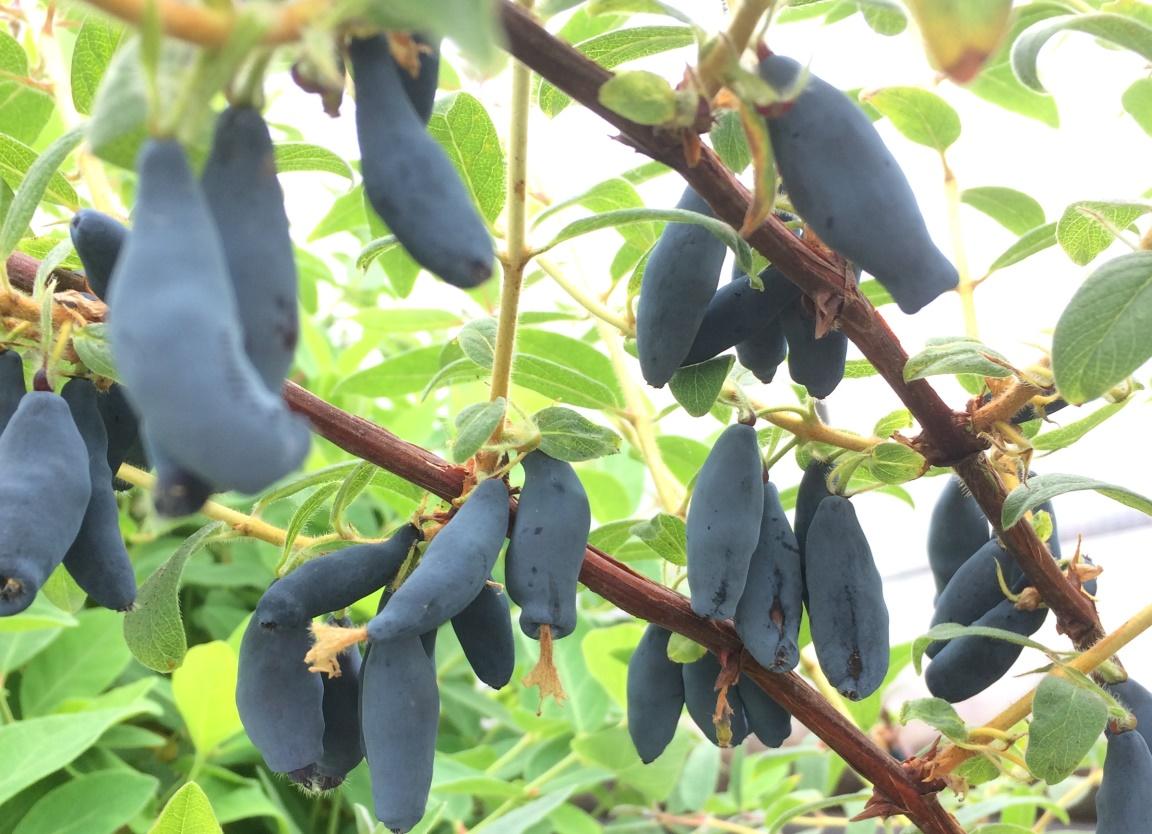 Honeyberry plots, Arbuckles of Invergowrie