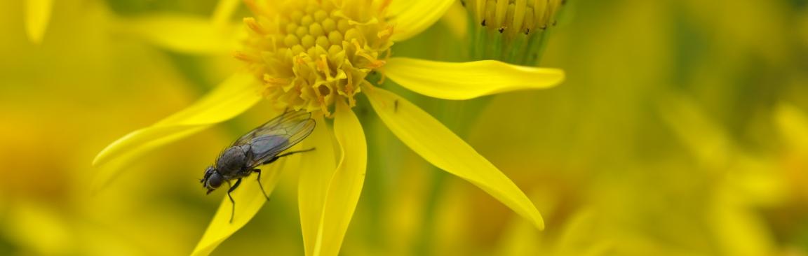 Fly on ragwort flower (c) James Hutton Institute