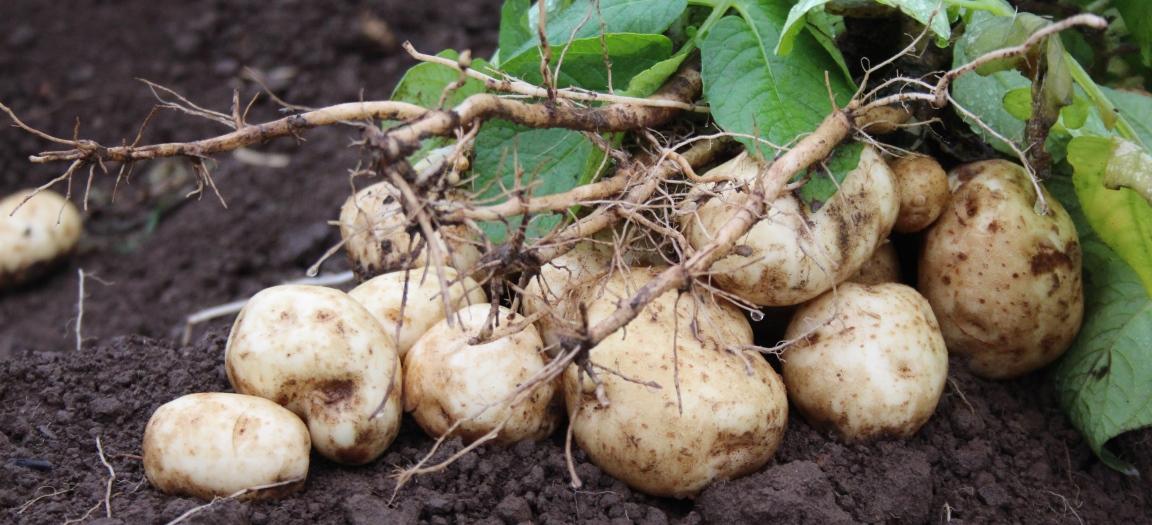 Potato tubers in soil (c) James Hutton Institute