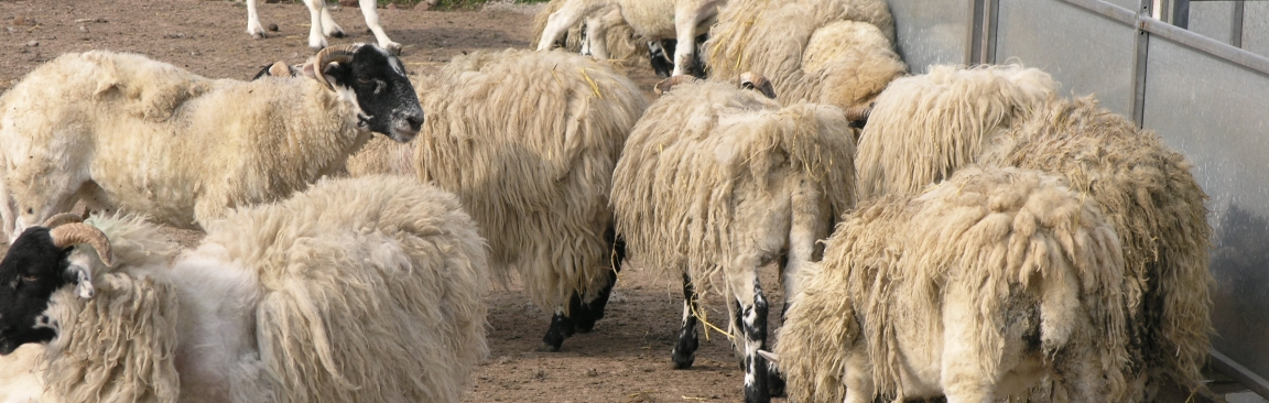 Sheep scab results in a severe skin irritation in livestock