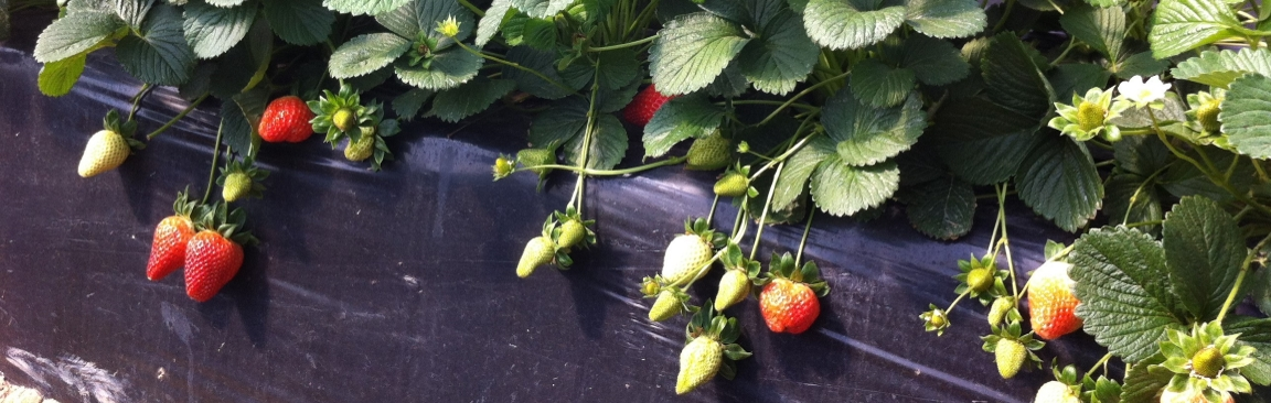 Strawberry crops can benefit from MycoNourish's innovative microbes