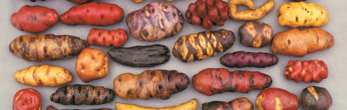 Wild potatoes may hold the key to enhanced disease resistance