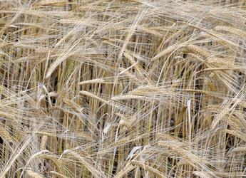 Barley, a fibre-rich crop (c) James Hutton Institute