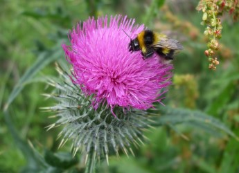 Bee on a thistle (c) James Hutton Institute