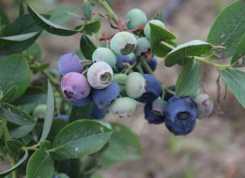 Blueberry bush (c) James Hutton Institute